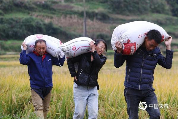 """重庆雨水按下""""暂停键""""!村民抢收贡米稻"""