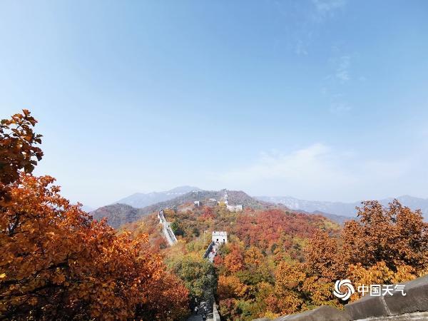 深秋时节北京慕田峪长城色彩斑斓 红叶如霞似火