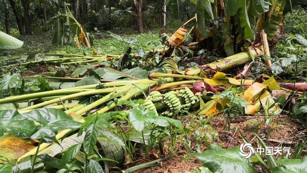 台风冷空气共同影响 海南晚稻橡胶等农作物受损