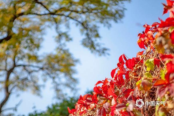 北京冬天的脚步姗姗来迟 暖阳下五彩斑斓的秋叶光彩依旧