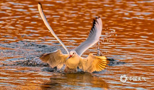 红嘴鸥依依不舍哈尔滨 嬉戏觅食间展现美妙身姿