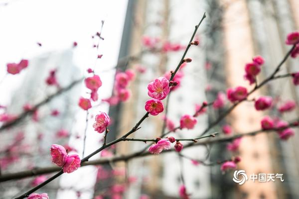 """贵州毕节红梅绽放""""温暖""""寒冬"""