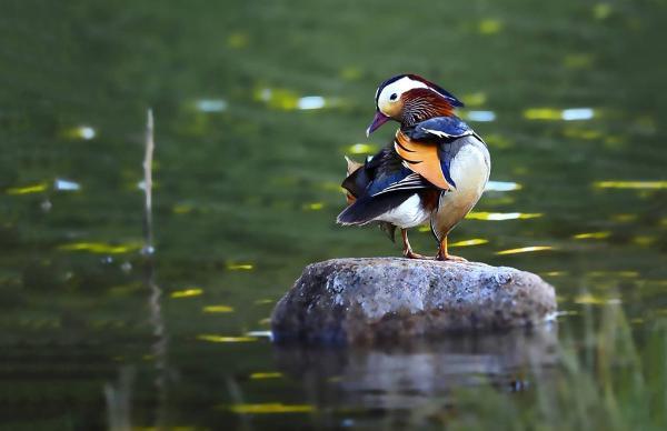 """平谷""""疏整促"""":好生态引来上百水鸟栖息"""