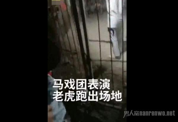 马戏团老虎跳出铁笼 逃走连夜被抓回 已确认无人
