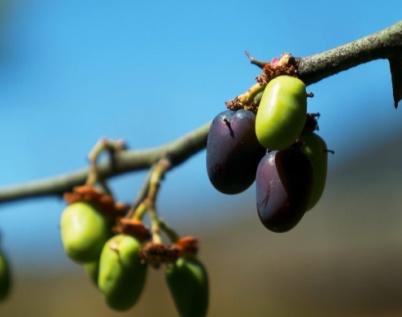 植物医生:纳西族人珍藏的高山青刺果的秘密