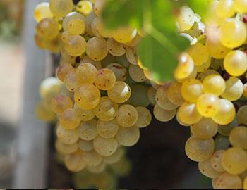 教皇新堡白葡萄酒:于众红之中熠熠生辉