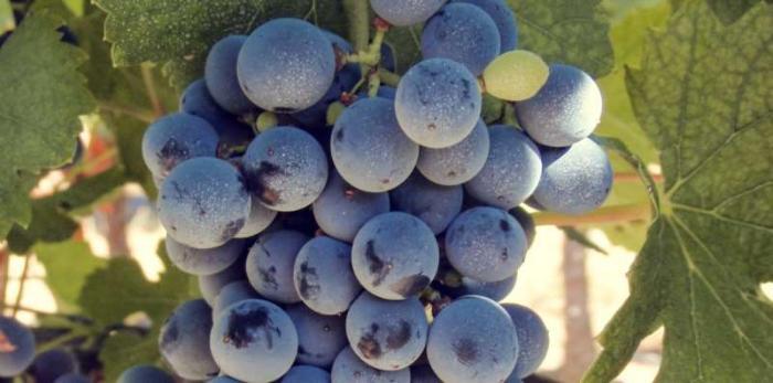 马瑟兰,中国葡萄酒明日之星