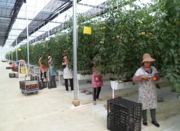 义龙新区无土栽培西红柿进入丰收采摘期