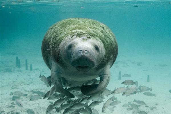 海牛生活在海洋中 却要依靠淡水生存