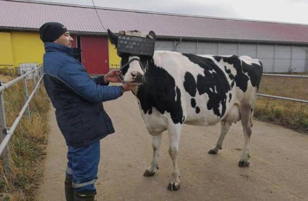 应对乳制品产量下降:给奶牛佩戴VR头显以提高产量再度热议