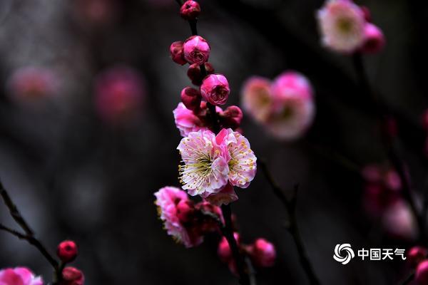 """最近重庆的天气越来越暖和了 红梅花开报""""春"""""""