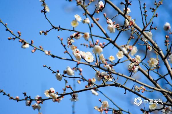 冬日暖阳下贵阳梅花灿烂引游人