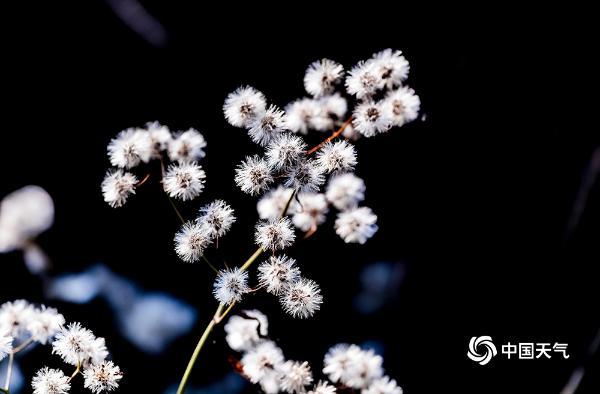 """重庆南川:冬日暖阳点缀""""絮花"""" 熠熠生辉美如画"""