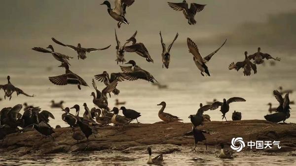 冬日暖阳伴着候鸟湿地公园嬉戏觅食