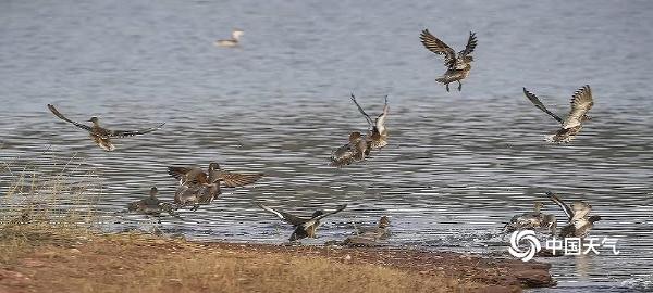冬日暖阳相伴 候鸟湿地公园嬉戏觅食