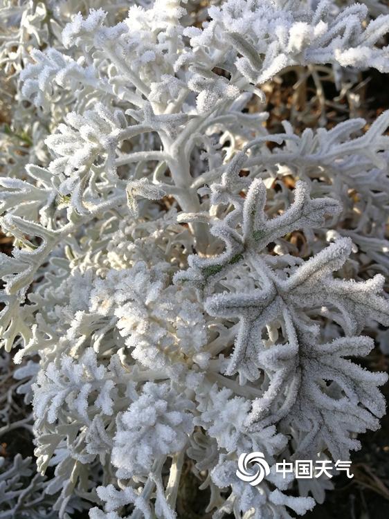 """云南鲁甸出现霜冻天气 植物裹""""白衣"""""""