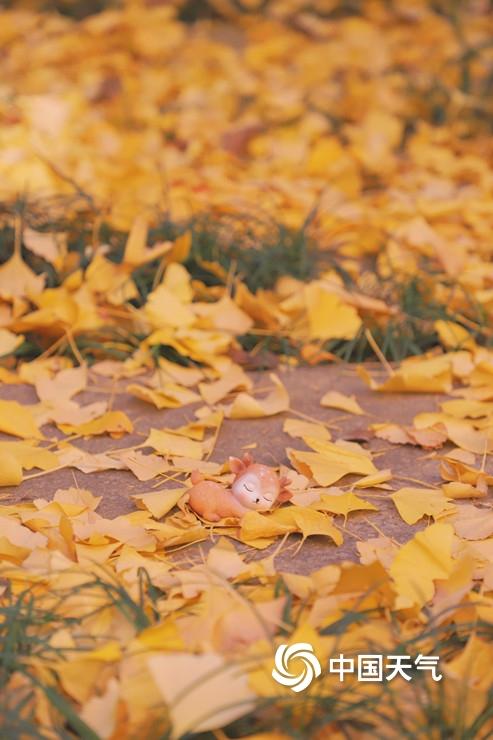 寒冷冬天的一抹暖色福州银杏披金