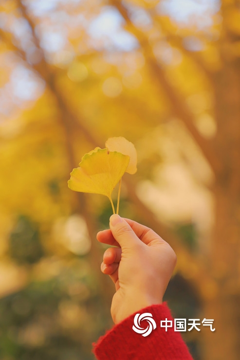 寒冬里的一抹暖色 福州银杏洒金铺满地