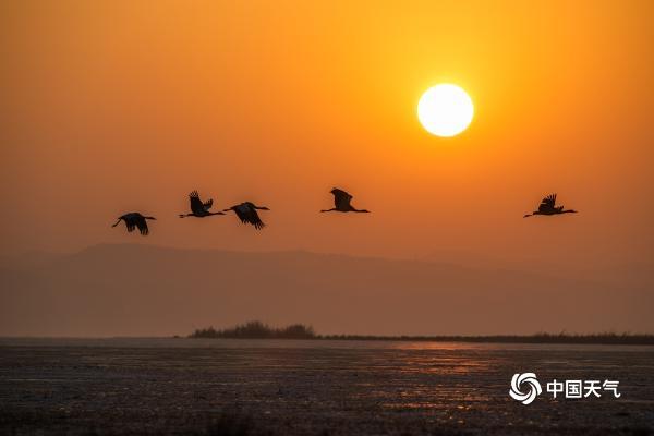 轻舞!贵州威宁草海迎来越冬黑颈鹤