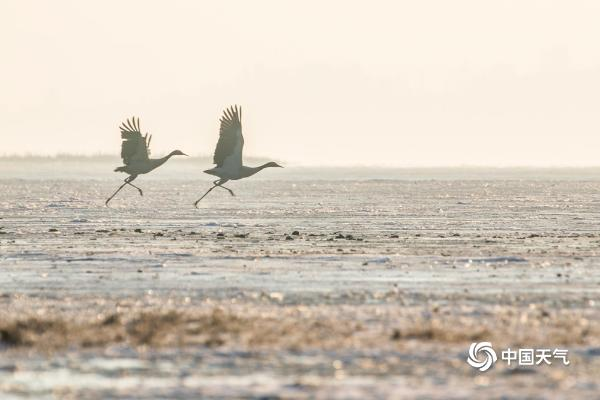 翩跹起舞!贵州威宁草海迎来越冬黑颈鹤