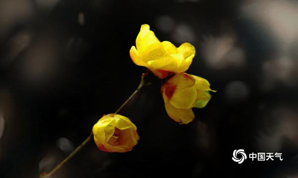 四川成都:新年伊始腊梅悄然绽放 美得动人