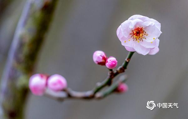 重庆朵朵红梅严寒中绽放 俏皮又可爱