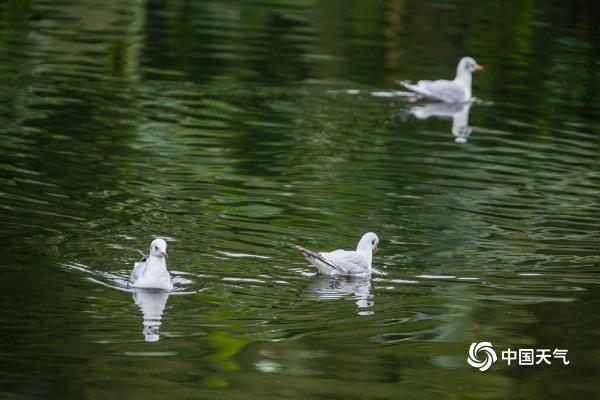 """红嘴鸥""""光临""""贵州毕节 为冬日增添盎然生机"""
