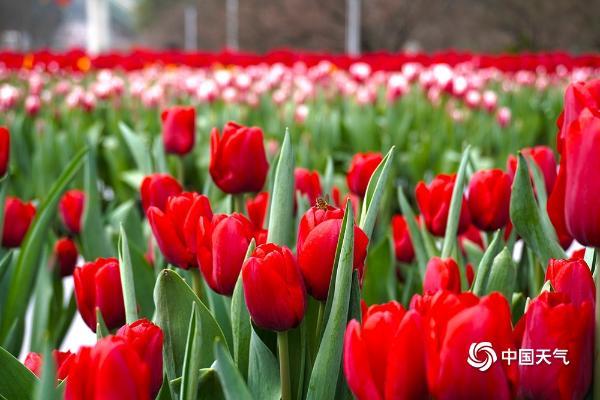 重庆南山植物园郁金香迎春绽放 美不胜收