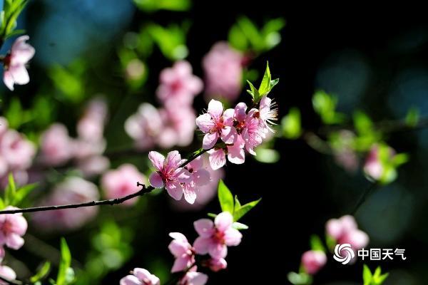 浙江金华丰和日丽桃花迷人