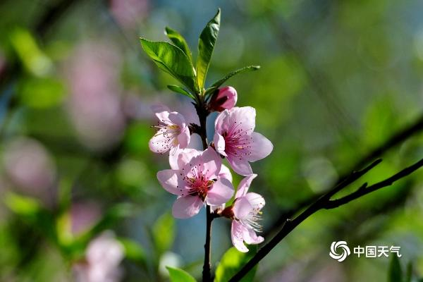 浙江金华风和日丽 桃花盛开令人心醉神迷