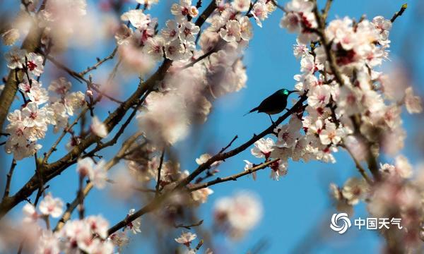 重庆杏花芬芳 吸引蝴蝶和鸟儿驻足