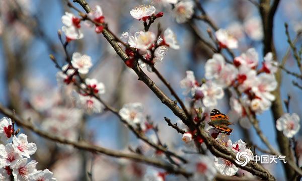 重庆杏花绽放芳香四溢 吸引蝴蝶鸟儿驻足