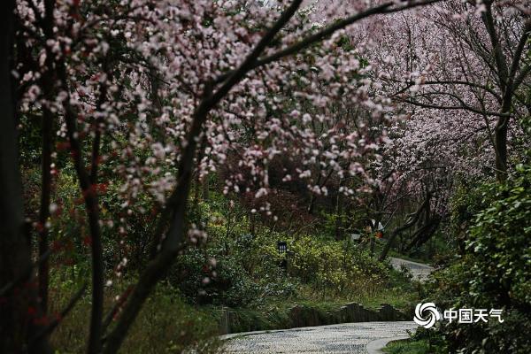 春暖花开!湖南武冈紫叶李如云似霞