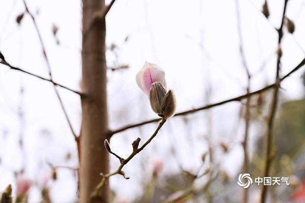 """感受""""初春"""" 京城玉兰花迎春花悄然绽放"""