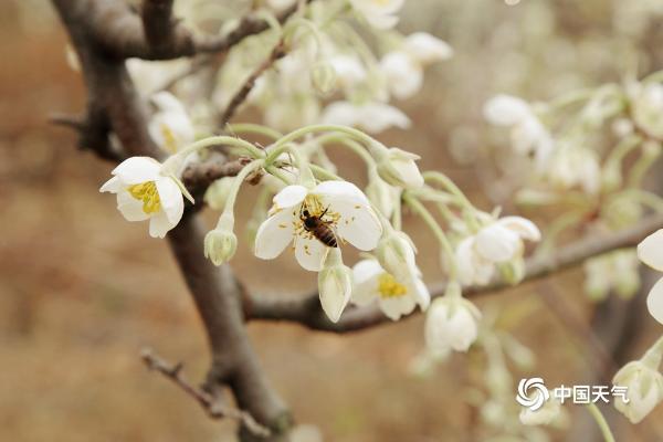 广西香洲冬天山楂花白而香
