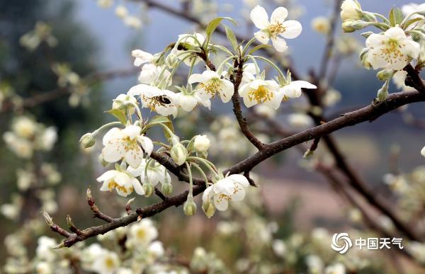 广西象州冬日里的山楂花雪白芬芳