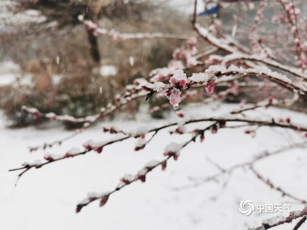 陕西蒲城迎来牛年的第一场雪 反映了春天花朵的美丽