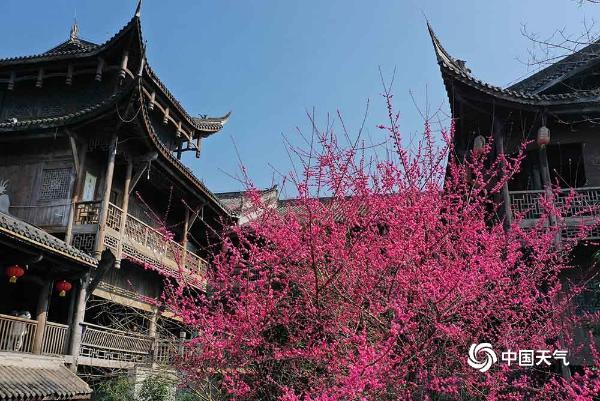 重庆黔江:梅映古镇美如画  游客赏梅迎春来