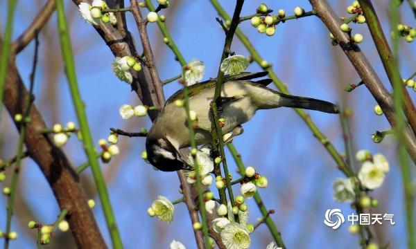 河南汝州雨后空气清新 鸟儿在枝头觅食姿态萌趣十足