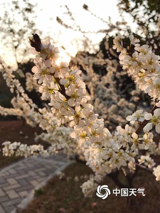广东天气回暖梨花绽放 暖阳相伴散发出阵阵清香