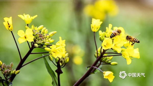 这是另一个春风 蜜蜂在湖南安乡忙着油菜花