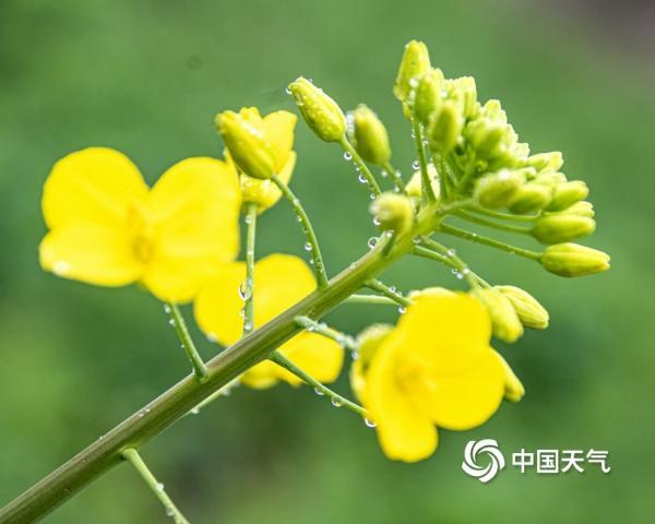 又是一年春风起 湖南安乡油菜花开蜜蜂忙