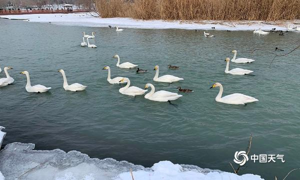 暖意回归!新疆博乐滨河公园迎来大批天鹅觅食 身姿曼妙