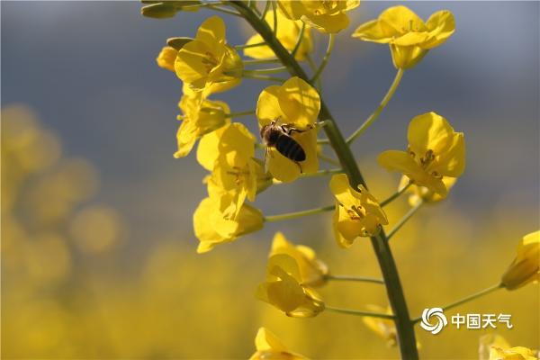 是春天了!云南油菜花盛放 沐浴春风万顷黄