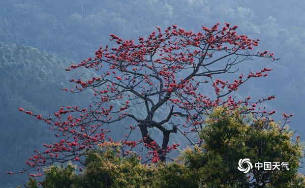 海南昌江:木棉花进入盛开期 花朵绽放红似火