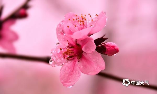 湖南衡阳春雨滋润桃花 树枝更加美丽和精致