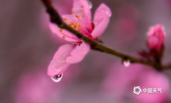 湖南衡阳绵绵春雨润桃花 枝头俏丽更娇艳