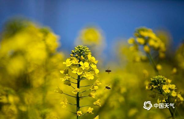春雨过后天空清澈  四川乐山油菜花开扮靓新春