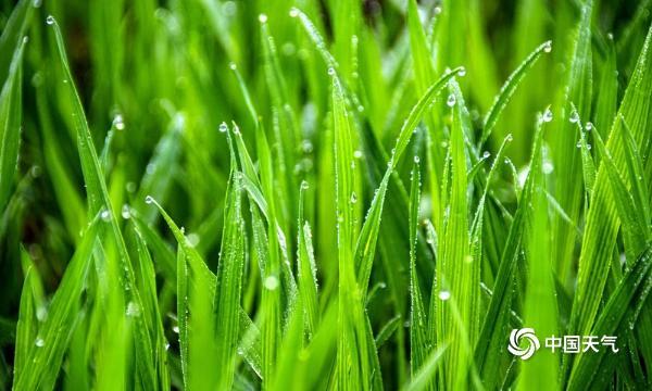 今日雨水 湖南安乡大地复苏嫩草萌生春意