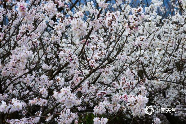 贵州福泉气温逐步回升 樱花枝头俏立争春色